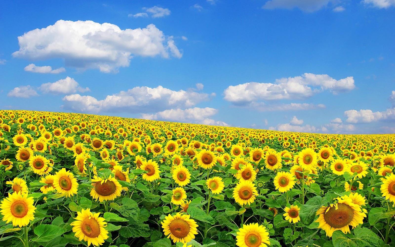 Zomer-foto-gele-zonnebloemen-achtergronden-hd-zonnebloem-wallpapers-01